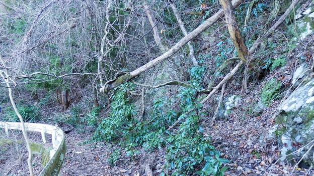 ツル状の木が倒木を支えてくれています