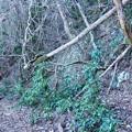 Photos: ツル状の木が倒木を支えてくれています