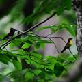 写真: サンコウチョウとキビタキ