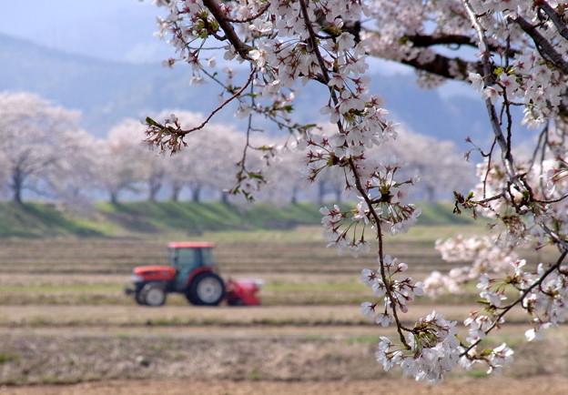 ◆桜と田おこし A