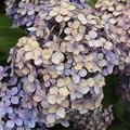 Photos: さくらの山公園の紫陽花 IMG_116778