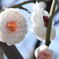 Photos: 大阪城公園の梅です(華農玉蝶)
