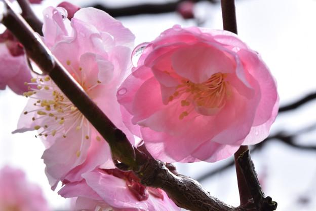 雨後の梅(武蔵野)