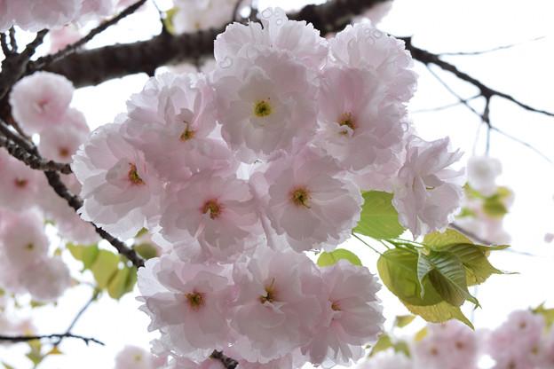 雨上がりの造幣局の桜