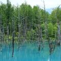 Photos: 青い池はやっぱり青い