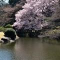ちょっとだけ桜