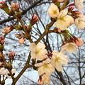 桜開花(大阪市内/公園)<3月30日気象庁大阪桜開花発表>