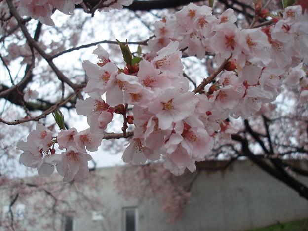 桜接写1。