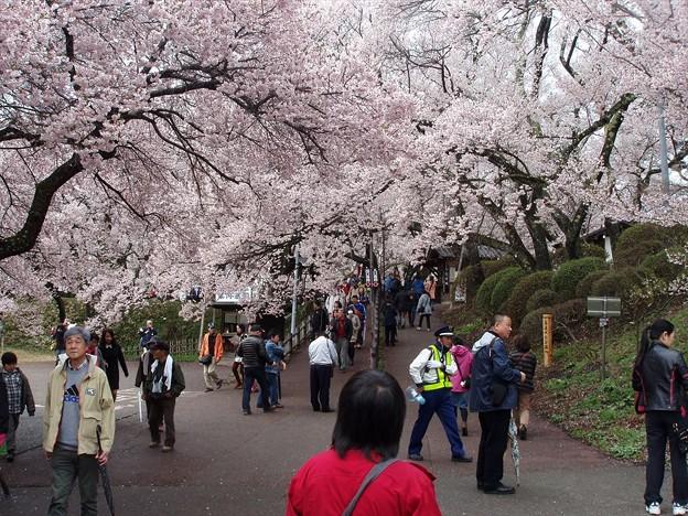 予想以上の桜の多さ