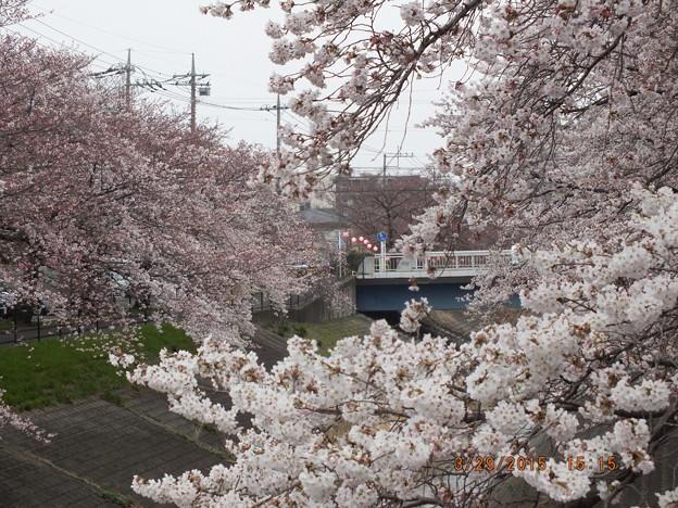 乞田川沿いの提灯ぶら下げた花見通り