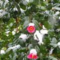 写真: 山茶花サザンカ咲いた道に雪が