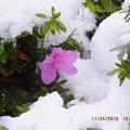 写真: 雪の下でつつじ狂い咲き