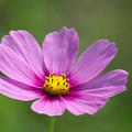 写真: 薄紫