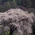 樹齢1000年?