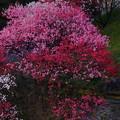 Photos: 錦の桃
