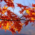 Photos: 山紅葉
