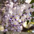 Photos: きらめくフジの花