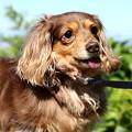 Photos: 高齢犬