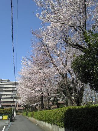 多摩平第7公園の桜 1