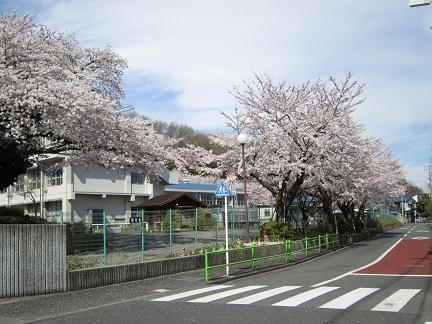 東光寺小学校の桜1