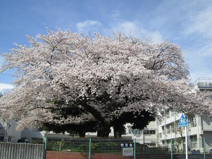 東光寺小学校の桜2