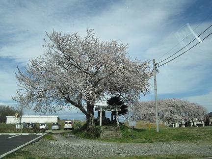 七ツ塚古墳群の桜1