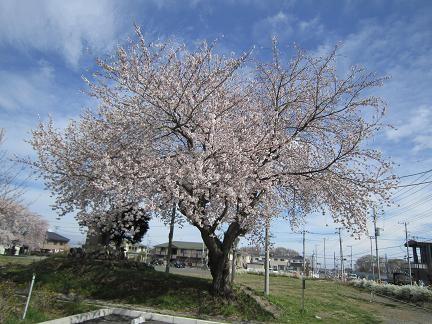 七ツ塚古墳群の桜2