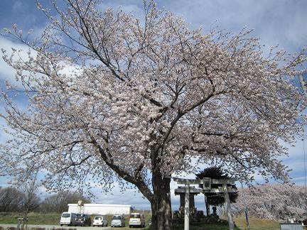 七ツ塚古墳群の桜3