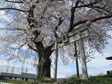 七ツ塚古墳群の桜4