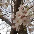 名残りの桜