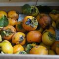 収穫した柿