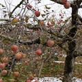 Photos: リンゴ園最後の日