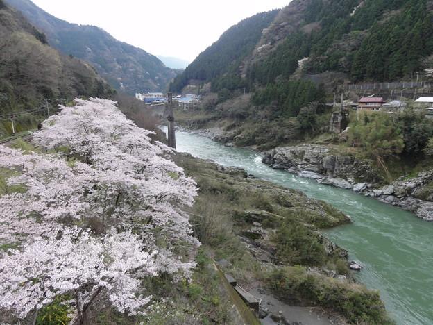 大歩危と桜