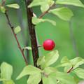 Photos: 庭梅の実  真っ赤に熟して