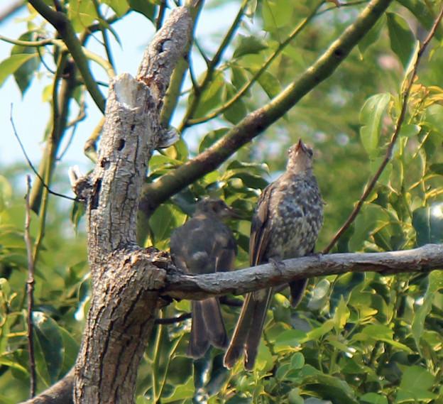 ヒヨドリの幼鳥さん2羽  (3)