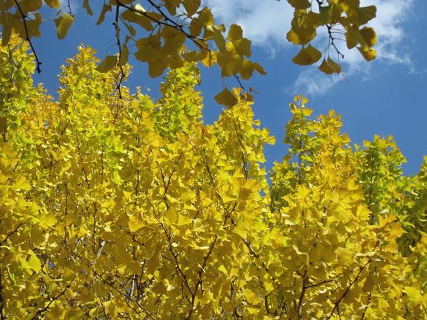 銀杏の紅葉(3) 黄金色が風に揺れて
