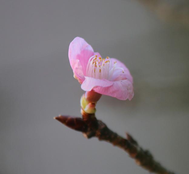 一月の 河津桜(2) 一輪