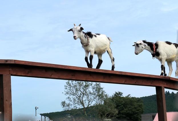山羊専用の道