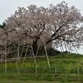 Photos: 100年桜。