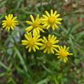 Photos: 黄色い花、ナルトサワギクです。
