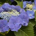 写真: 青き紫陽花。