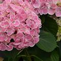 Photos: あじさいの咲くころ。