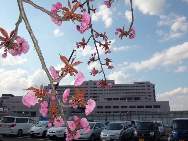 桜と大学病院