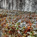 植え込みの霜