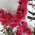 紅梅と白い雪