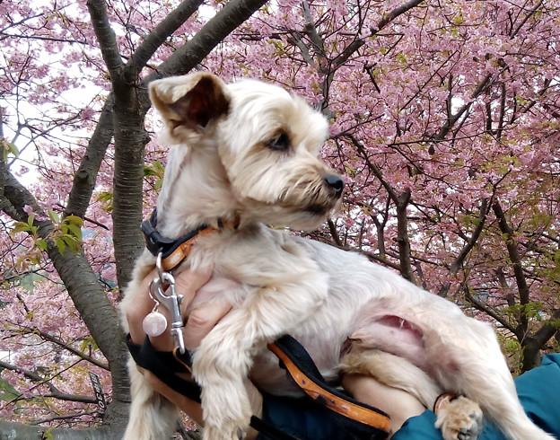 Photos: 桜咲く?