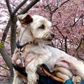 写真: 桜咲く?