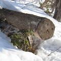 写真: ワンコの木