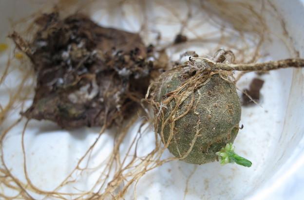 仔芋が発芽