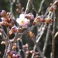 Photos: 4月4日「一番花」